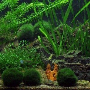 Cladophora Aegagropila (Moss Balls)