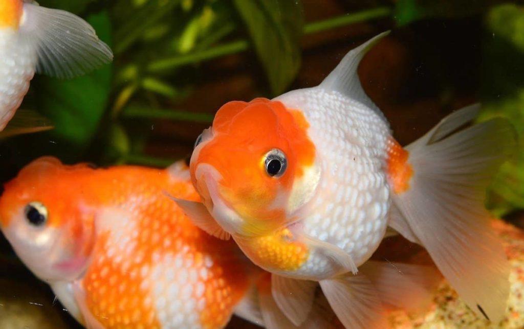 Determine Sex Of Goldfish