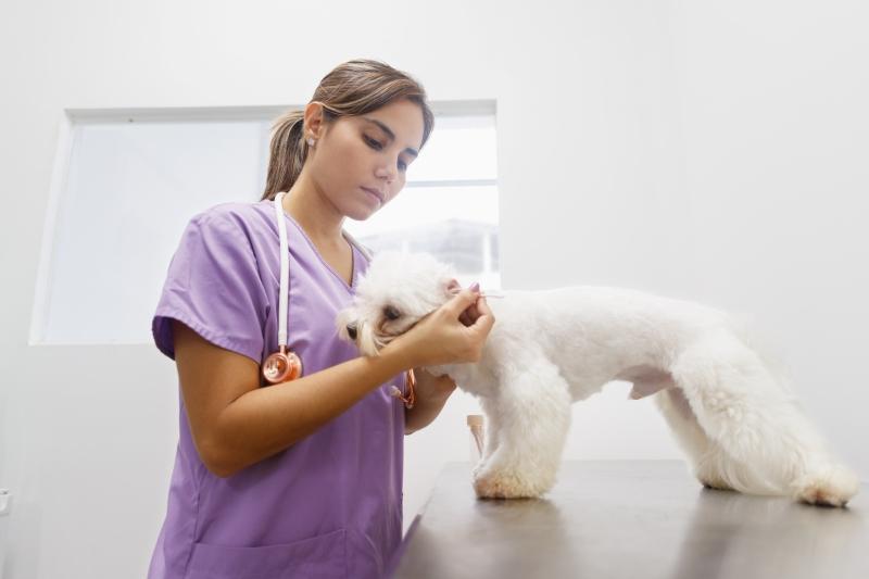 vet inspects dogs ears