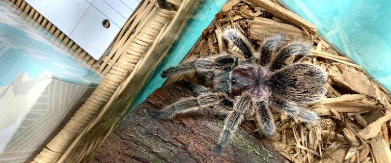 Guide To Keeping Pet Tarantula