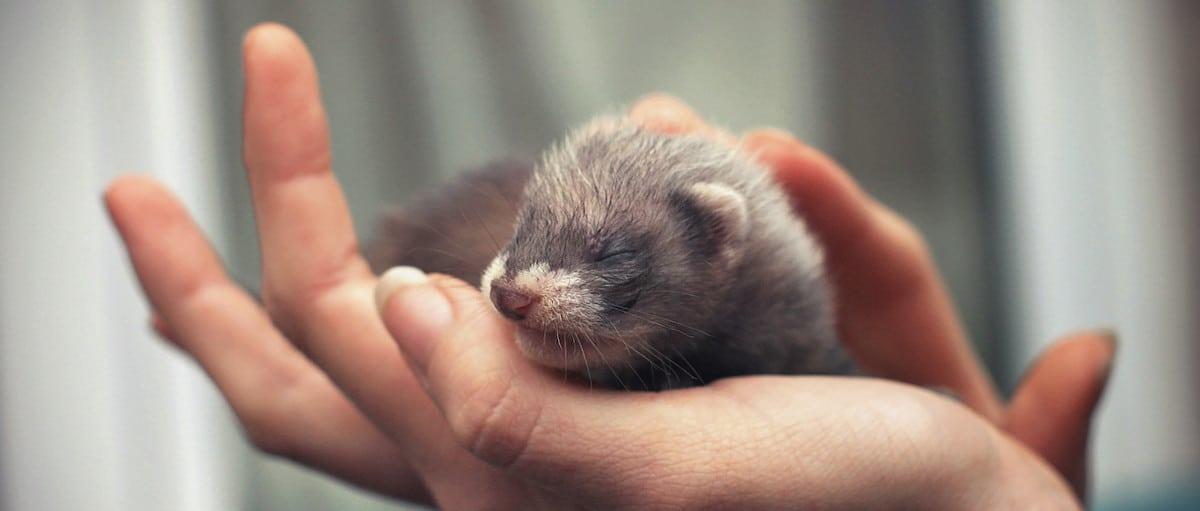 Handling Ferrets