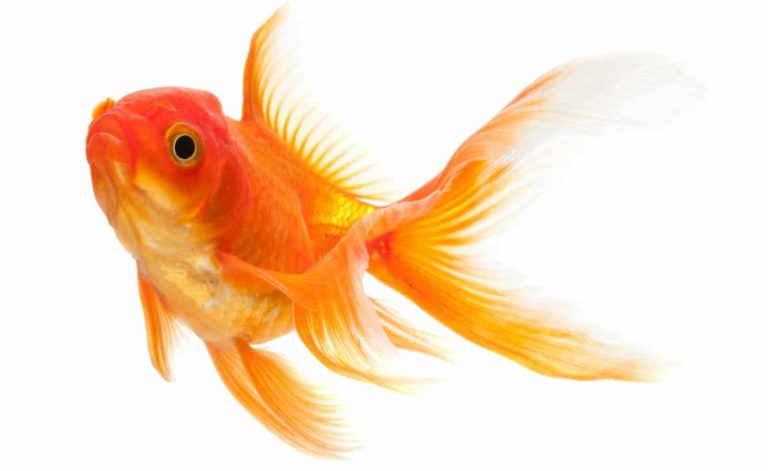 How To Care For Cold Water Fish