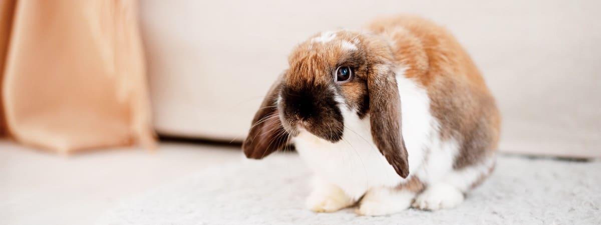 Indoor Rabbit Care