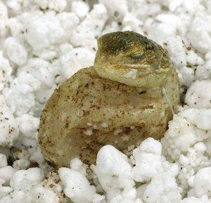 Lucky Reptile Hatchrite