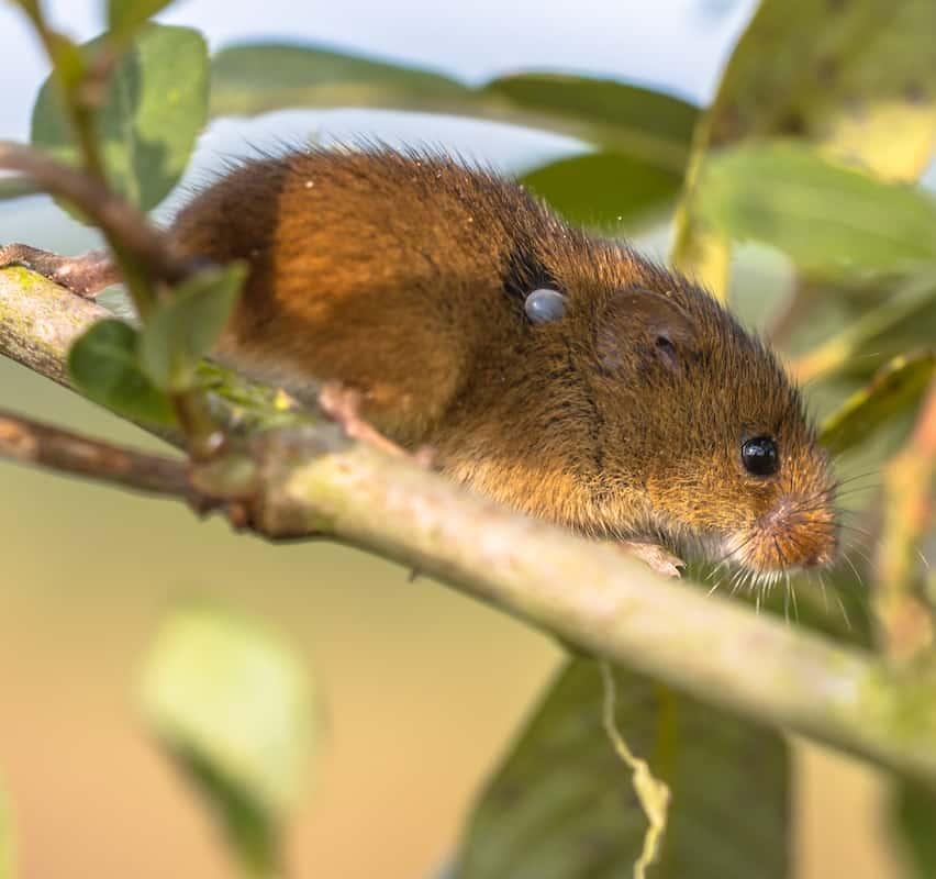 Mice Carry Ticks