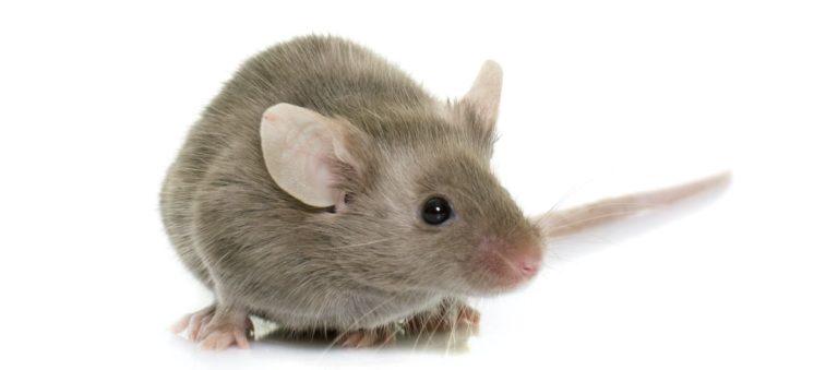Pet Mice Care Guide Sheet