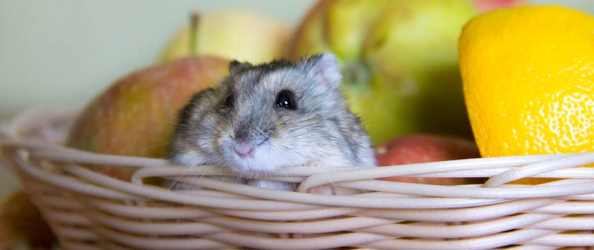 Pet Mouse Care Sheet