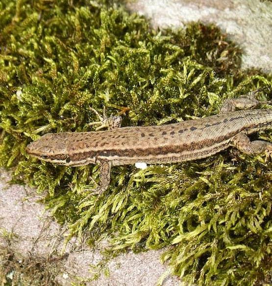 Reptile Sphagnum Moss