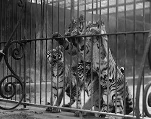 Tiger Cub Martin Van Buren