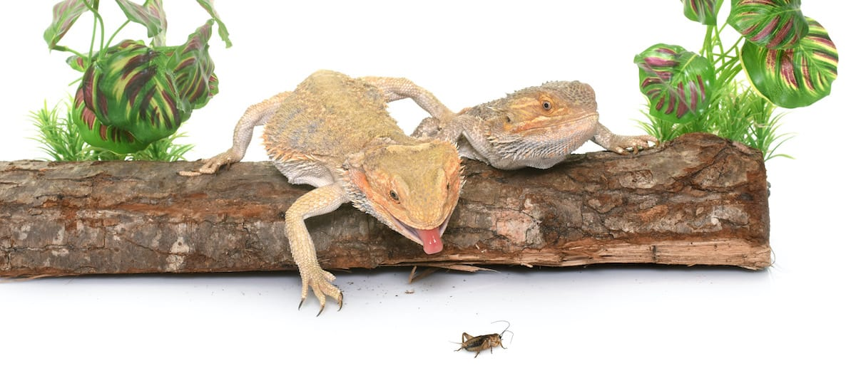 What do bearded dragons eat