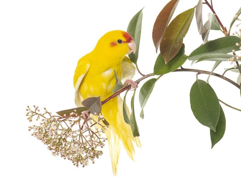 parakeet care information