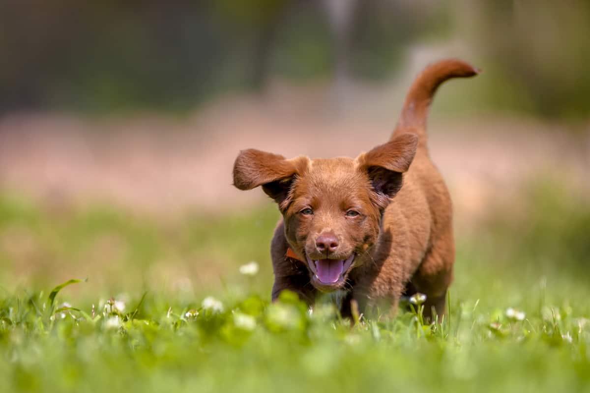 do puppies get hay fever