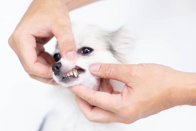 desensitising dog teeth