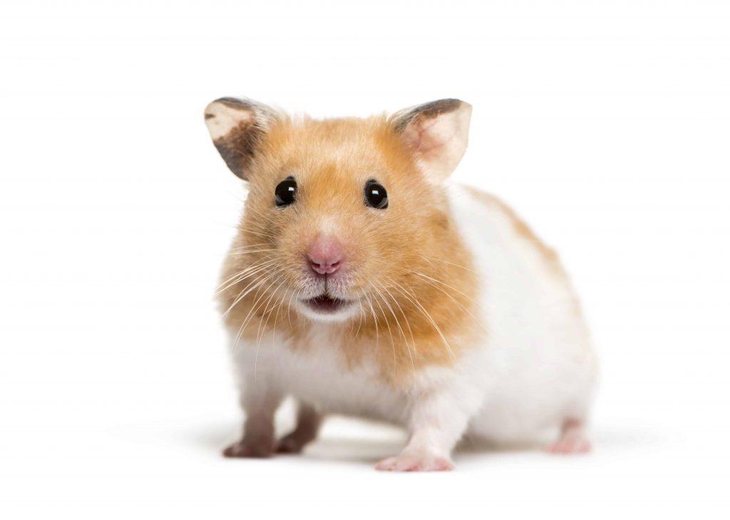 A golden hamster