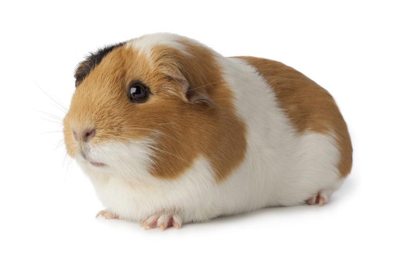 guinea pig care sheet