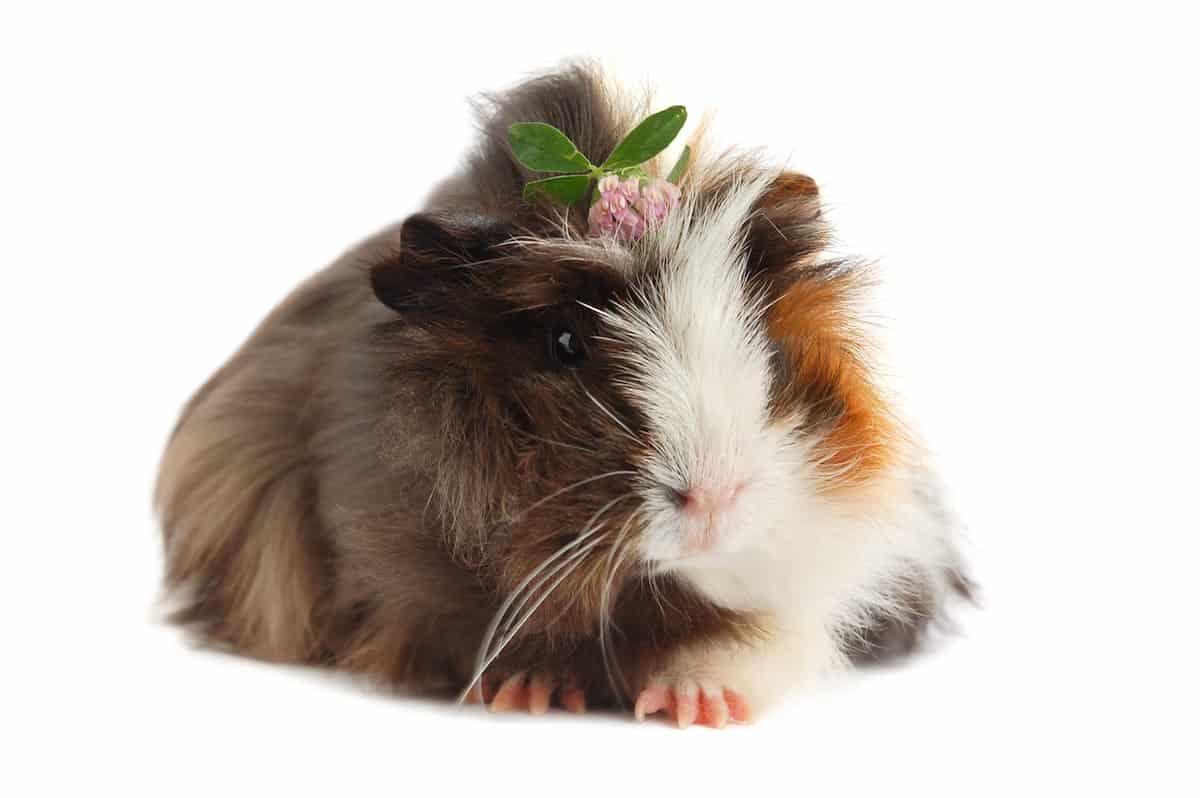 guinea pig with flower tiara