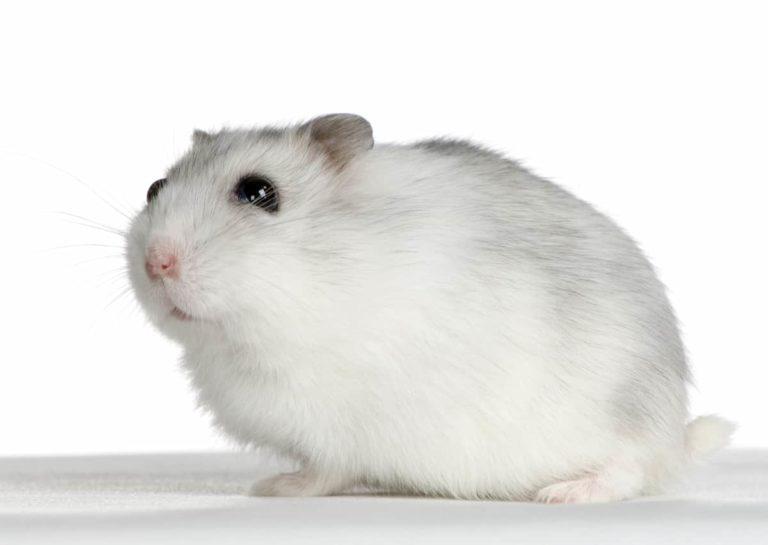 hamster care sheet