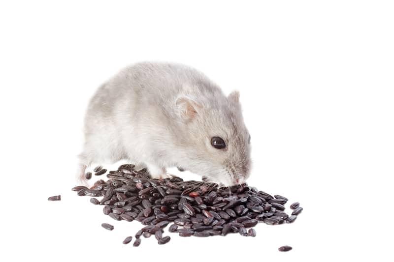 hamster dietary info
