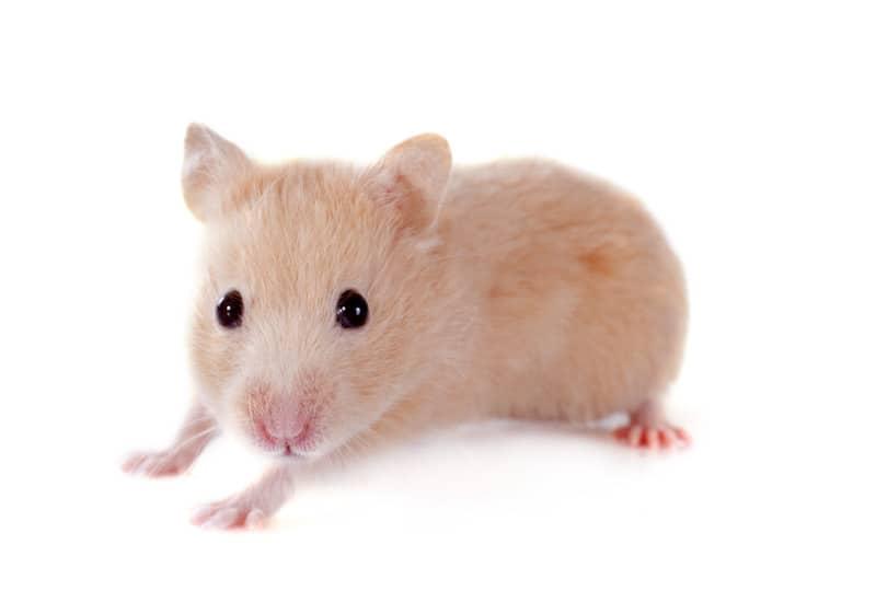 hamster health information