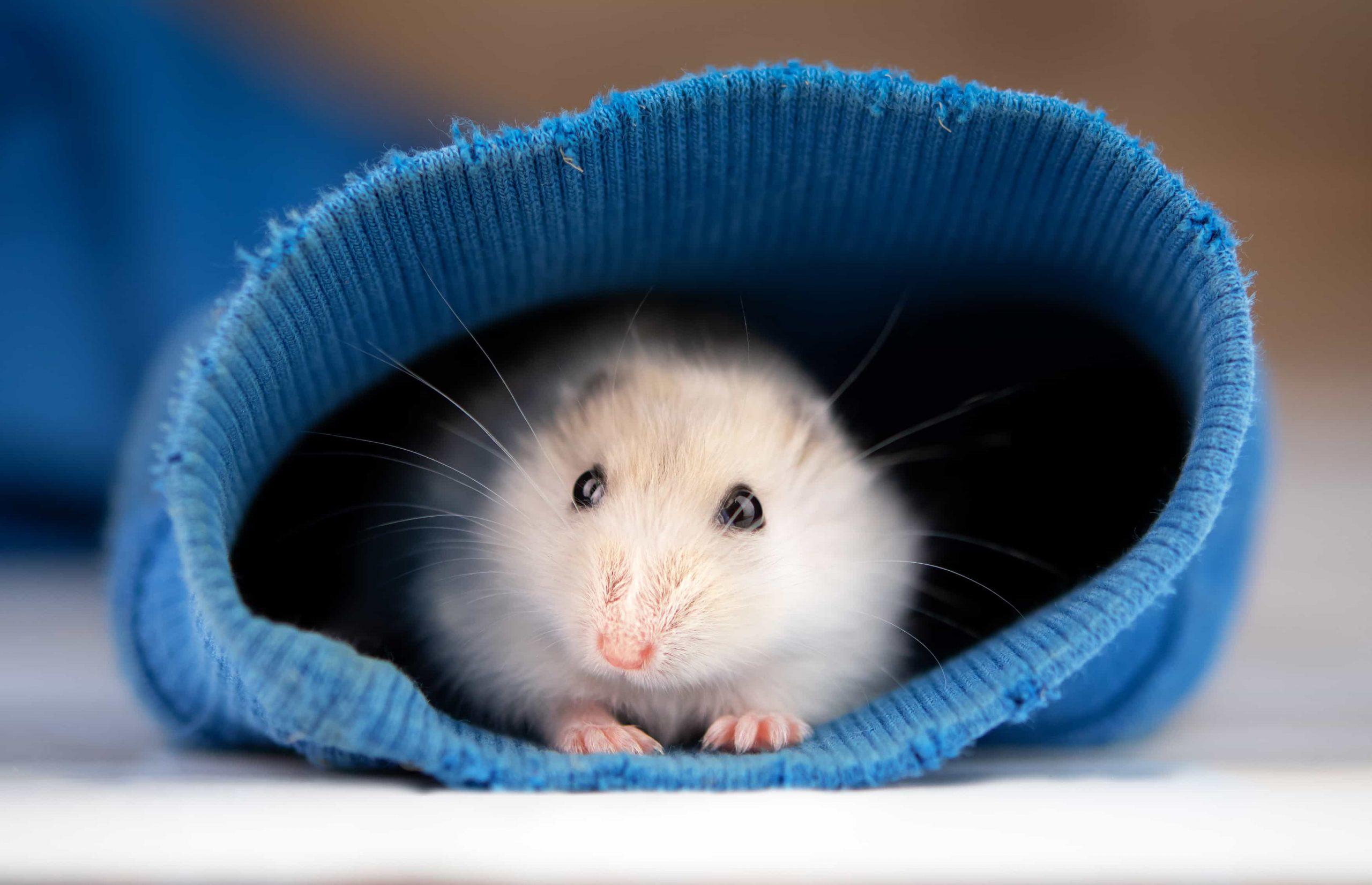 hamster hiding in a sock