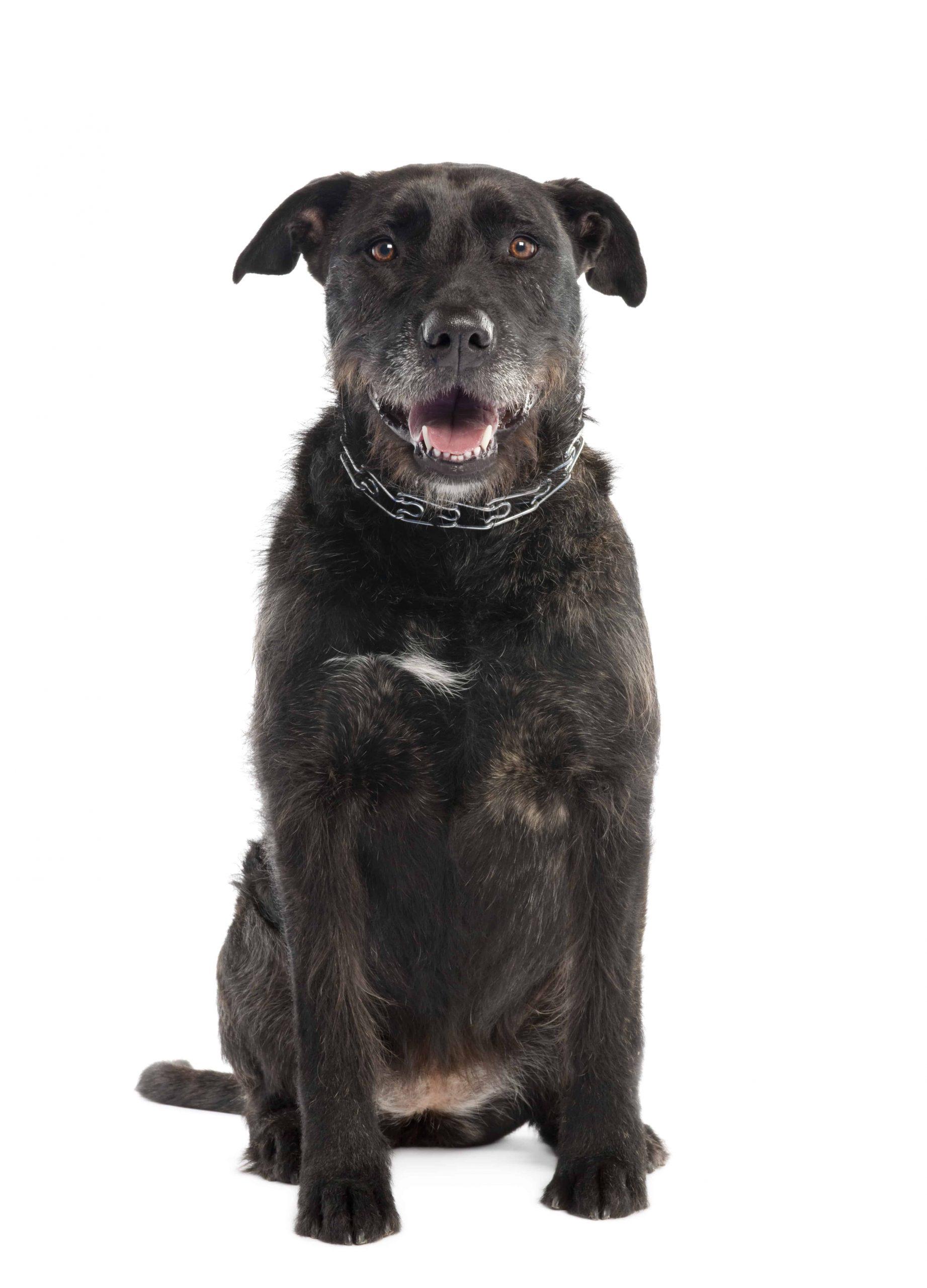bernese mountain mixed dog