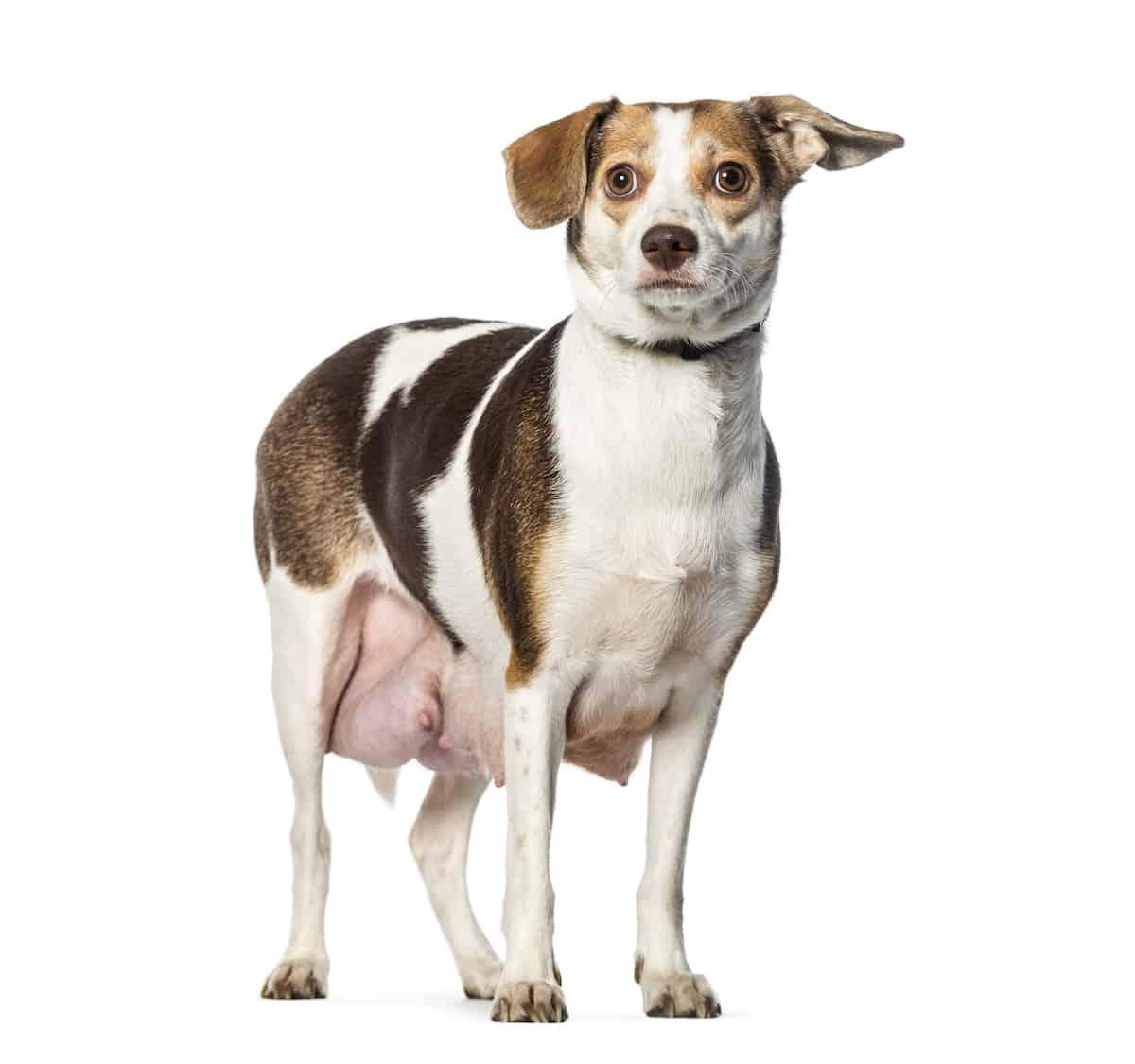 a pregnant dog