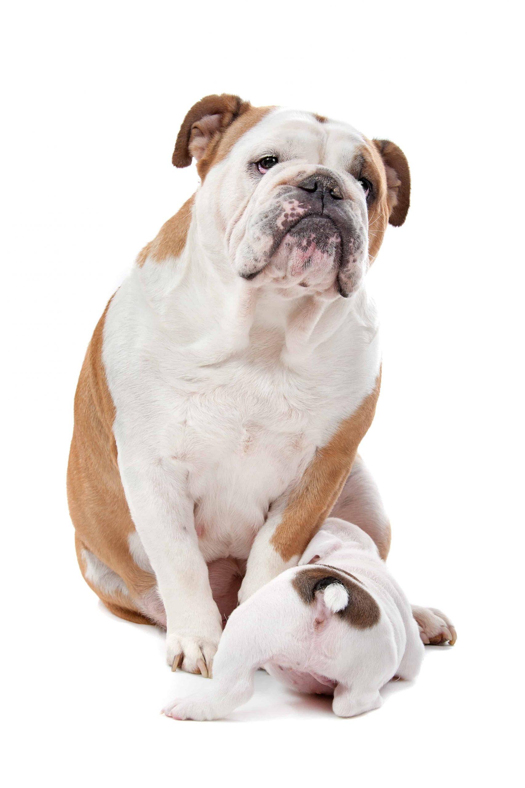 Bulldog and puppy