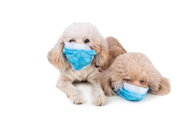poodles in face masks for pandemic